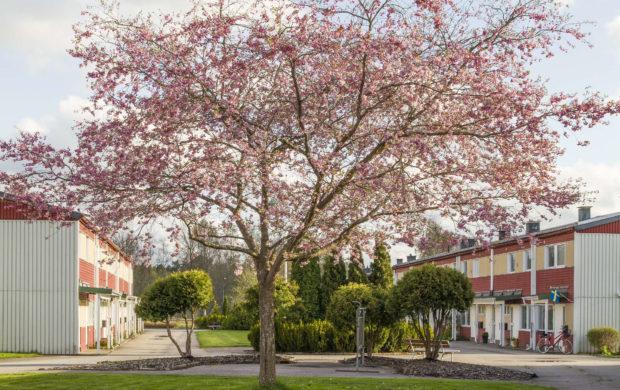 Sik körsbärsblommor helt träd 2018